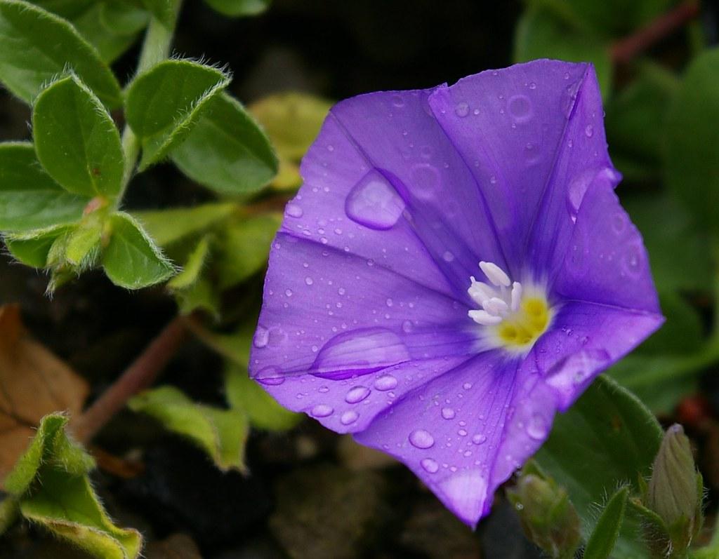 Convolvulus sabatius (Rose) 25-5-08a