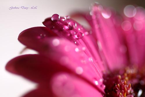 Gerbera Daisy (Explored) by linlaw39