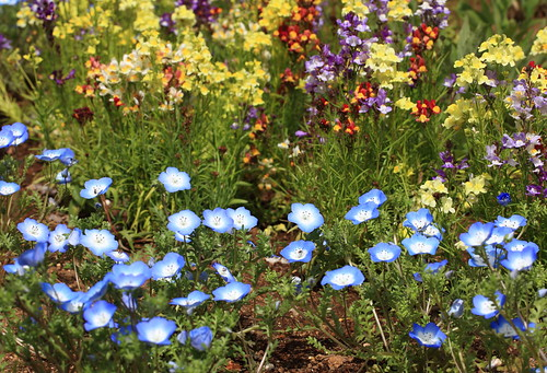 Baby blue eyes / Nemophila menziesii / ネモフィラ / 瑠璃唐草(ルリカラクサ) | by TANAKA Juuyoh (田中十洋)