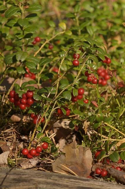 Брусника развесистая / Boughy cowberry