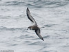 Mottled Petrel (Pterodroma inexpectata) by Jim Scarff