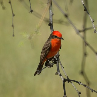 Vermilion Flycatcher | by Mike's Birds