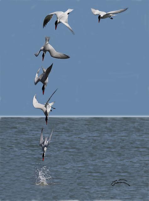 Caspian Tern Composite