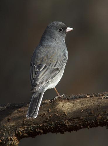 maledarkeyedjunco backyardbirds memphistn naturescarousel ngc naturesspirit thesunshinegroup