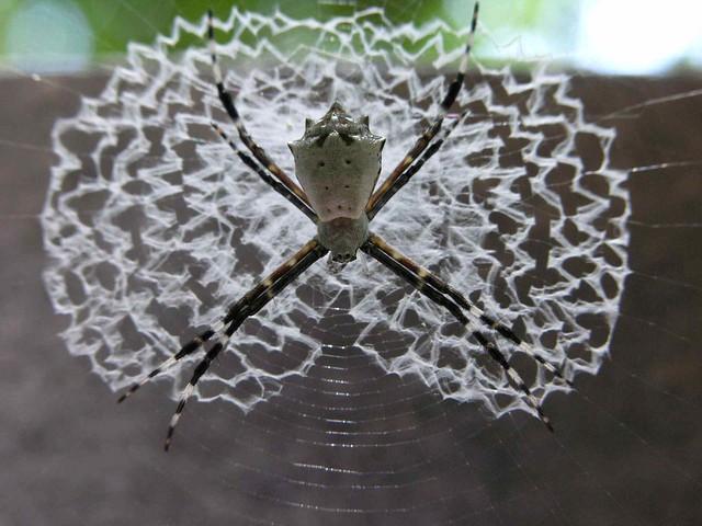 Orb-weaver Spider (Argiope savignyi)  on its stabilimentum - Arana; Parque Nacional Cahuita, Limon, Costa Rica