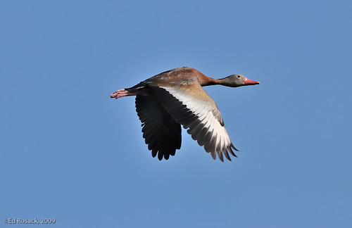 Black-bellied Whistling-Duck in flight | by Ed Rosack