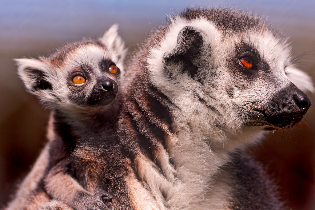 Baby and mom Lemur...