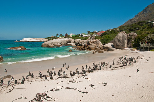 Penguins at Boulder Beach | by GOC53