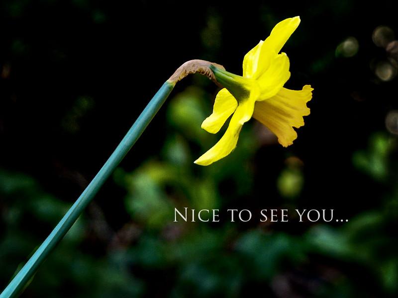 Daffodil - nice to see you!