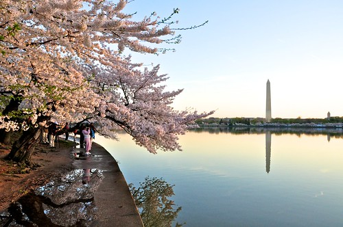 The Cherry Blossoms and the Washington Monument | by Geoff Livingston