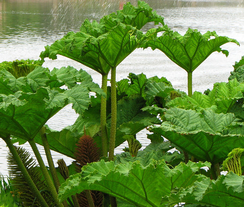 Giant Rhubarb   by Colorado Sands
