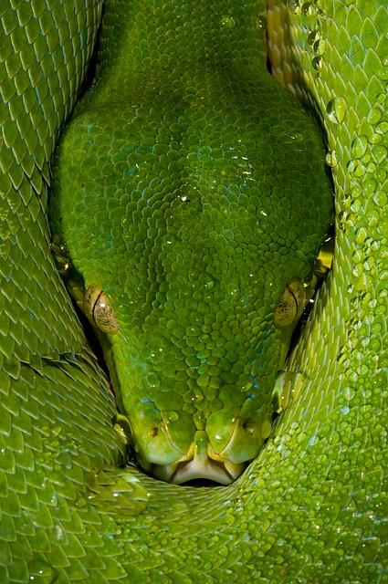 Morelia viridis  - v2