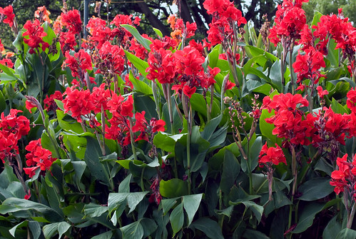 Cannas | by Rexness