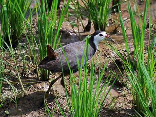 White-Breasted Waterhen | by as_kannan