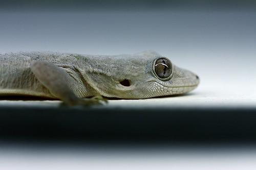 india macro gecko tamilnadu chidambaram gekkonidae hemidactylus தமிழ்நாடு hemidactylusleschenaultii சிதம்பரம்