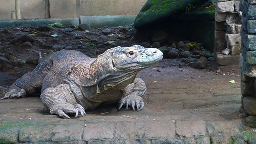 komodo dragon | by krukan