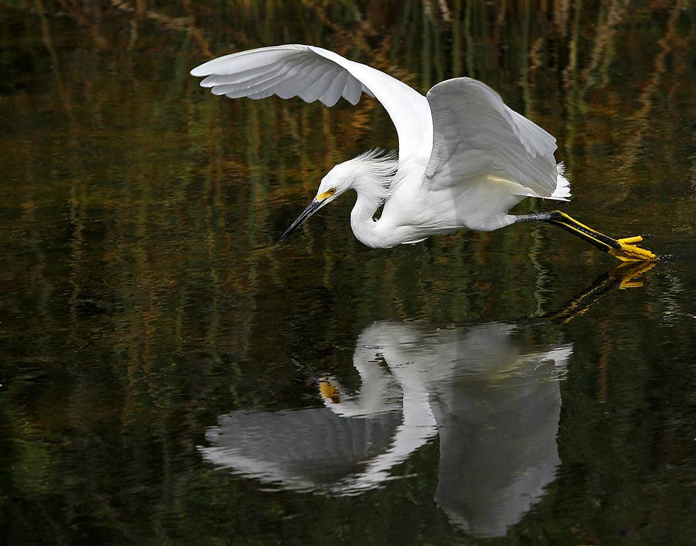 Snowy Egret in Flight Fishing - Egretta Thula. Everglades National Park.