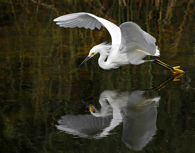 Snowy Egret in Flight Fishing - Egretta Thula. Everglades National Park.