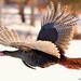 Mr.Turkey Flying! by JRIDLEY1