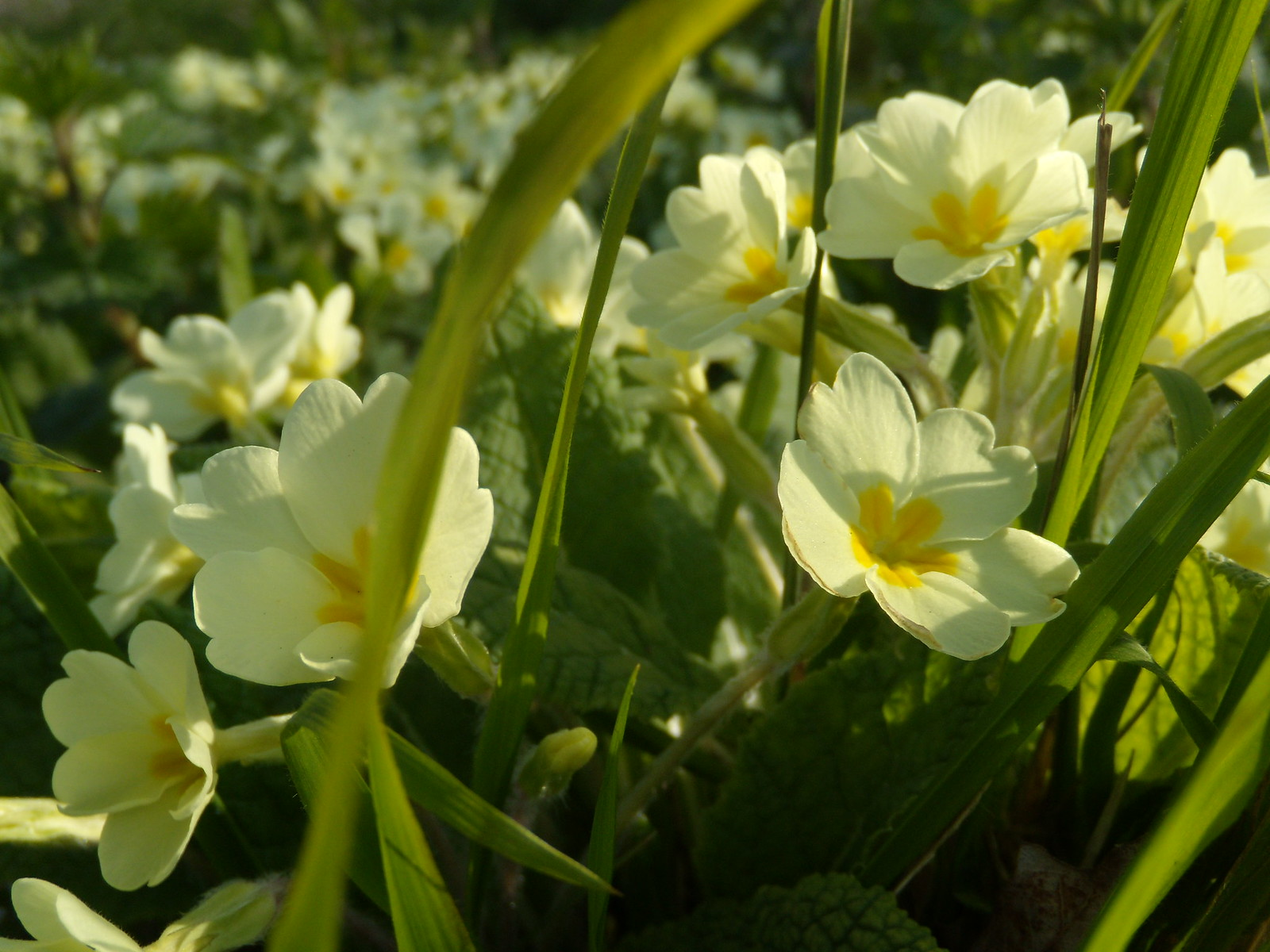 Primroses - Hever station Cowden to Hever