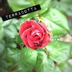 テラコッタ。名前の通りのきれいなレンガ色。 #rose