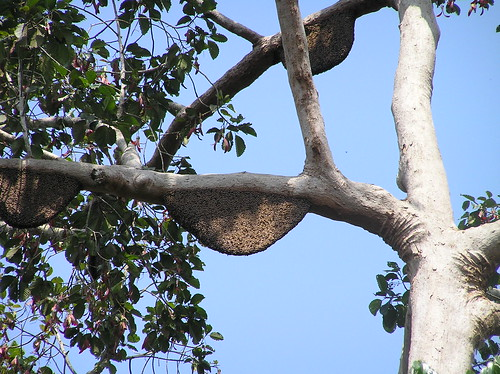 Thu, 02/03/2005 - 10:12 - Nests of the giant honey bee in a dipterocarp at Pasoh station. Credit: CTFS