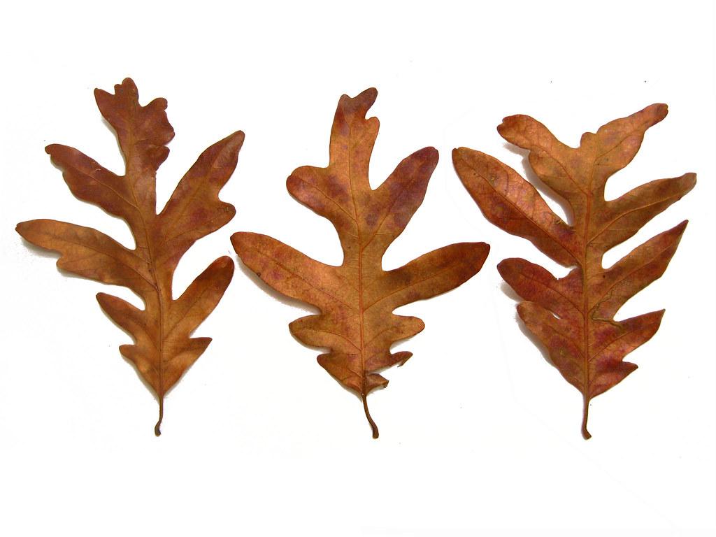 Quercus alba - White Oak Fall leaves