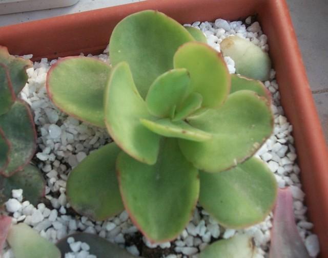 Echeveria Pallida Succulentlover77 Flickr