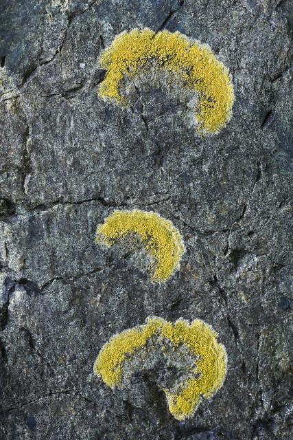 Calloplaca verruculifera, Lichen