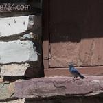 Mountain Bluebird on Granite Park Chalet
