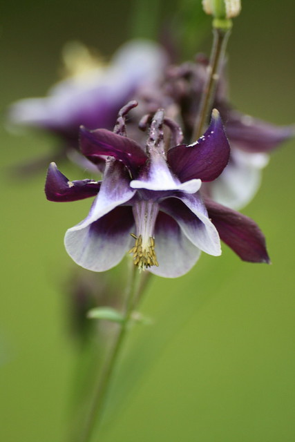 Aquilegia William Guiness