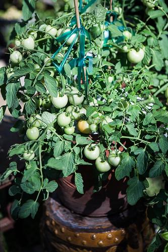 Maskotka Tomatoes | by San Francisco Food