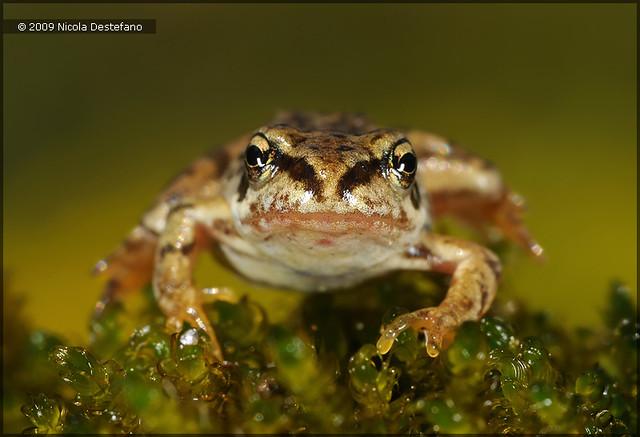 Common Frog - juv.