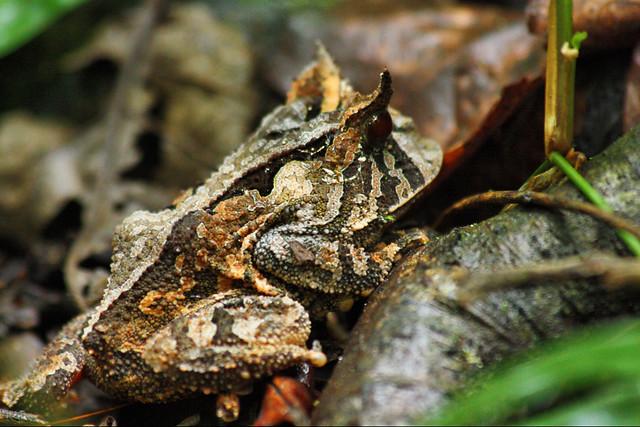 Proceratophrys boiei