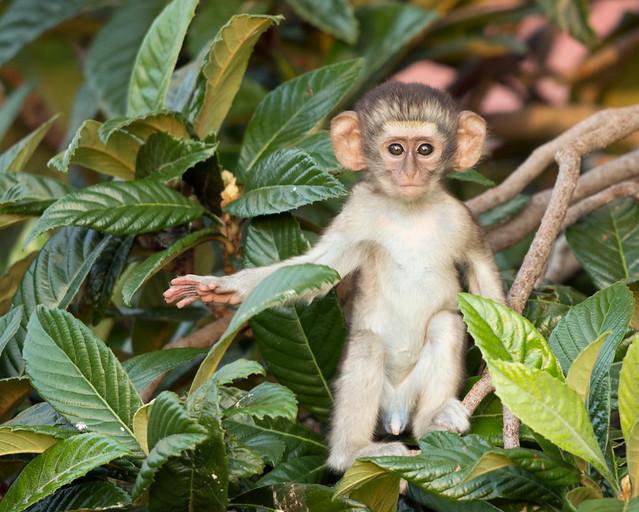 Vervet Monkey, Chlorocebus pygerythrus, Turk Mine, Zimbabwe37