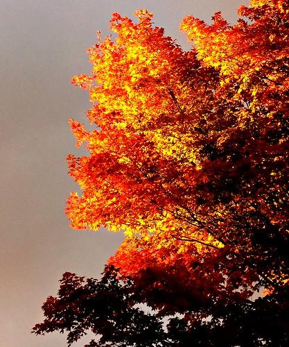 fall autum cleveland sugarmaple kirtland holdenarboretum acersaccharum ignited woodline morningfire sunriseonlyonthetopofthetrees verybizarresky