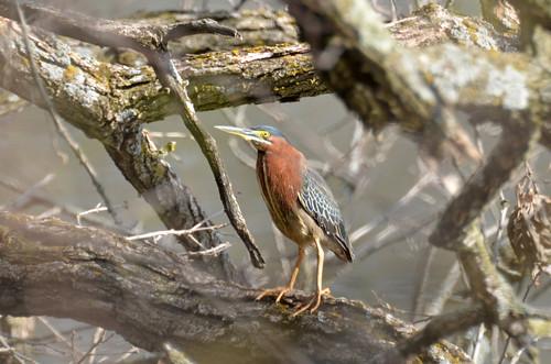 bird heron minnesota spring greenheron albertlea southernminnesota bancroftbaypark