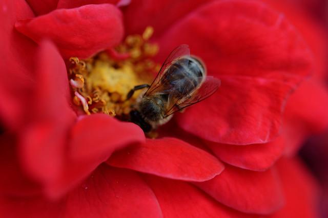 abeille RED