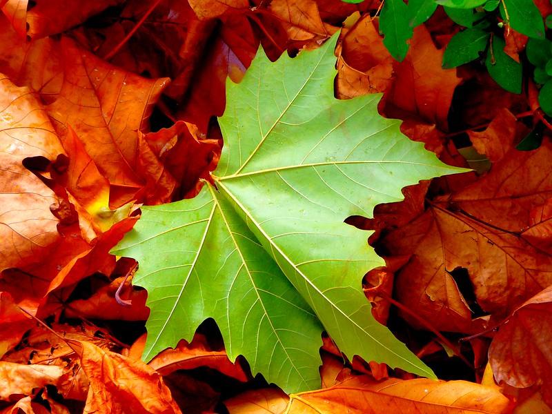 Feuille verte en automne