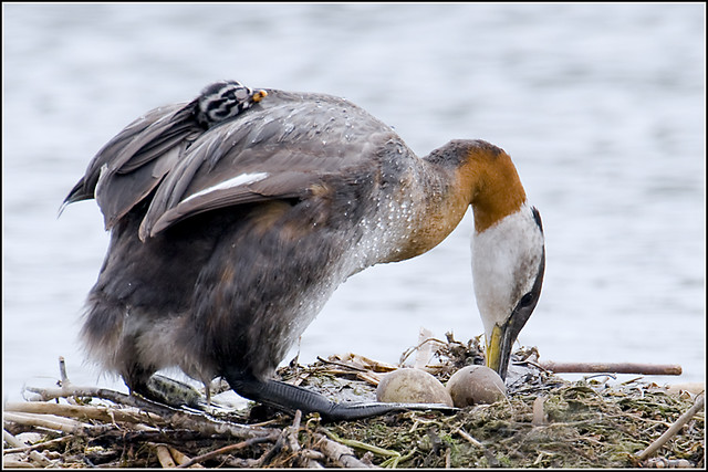 Grebe (Red Necked) - 0759