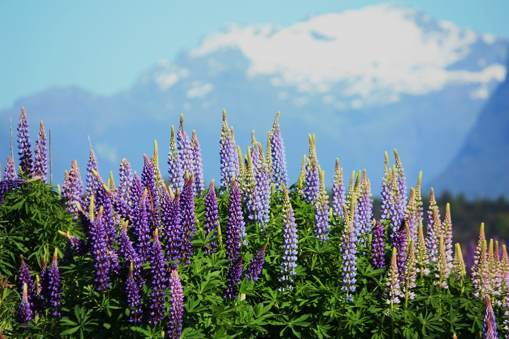 Russell Lupine - New Zealand - Milford Sound