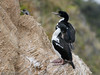 Two adult King Shags (aka Rough-faced Shags) by Jim Scarff