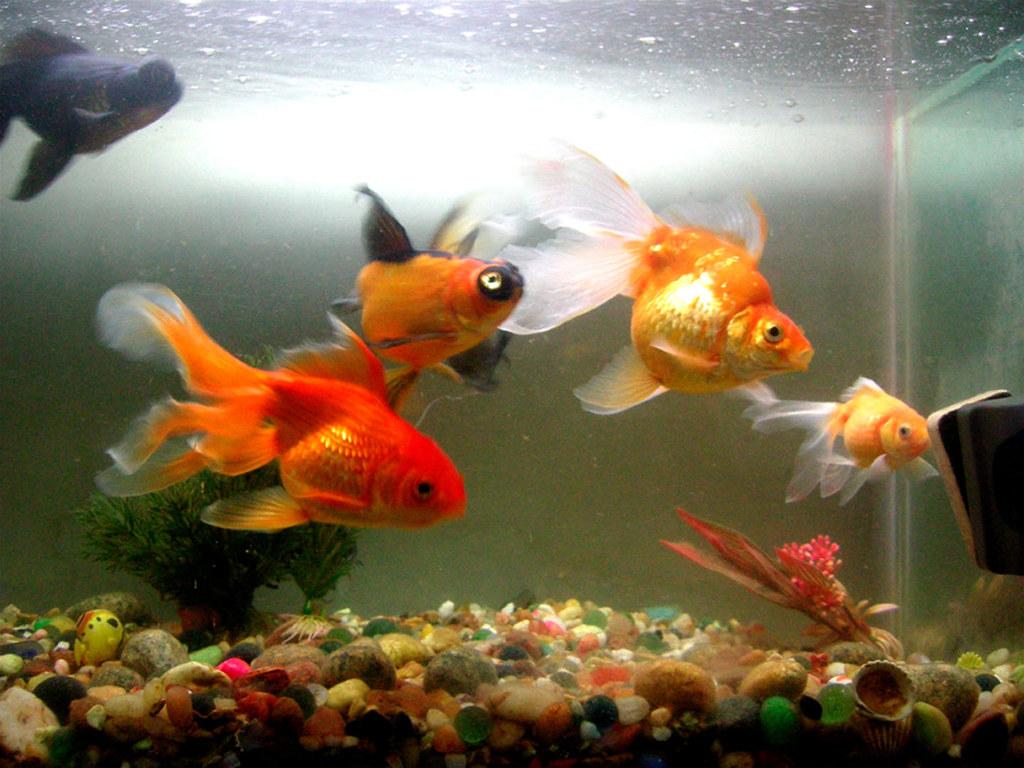 goldfish c | rama chandran | Flickr