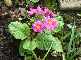 Primula | by brianpettinger