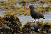 Blackish Oystercatchers (Haematopus ater), Puñihuil, Chile by palmchat