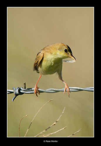Golden-headed Cisticola | by Ross_M