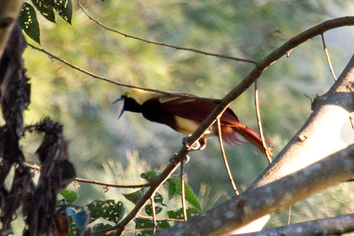 Lesser Bird-of-paradise, Pausa village, near Mt Hagen, PNG, 2010-08-25-4.jpg | by maholyoak