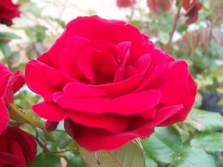 Red rose - 4