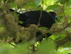 Black Guan - Chamaepetes unicolor by sail121j