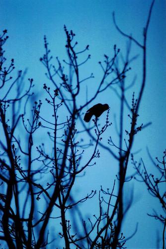 dusk bird sillhoette   by moonstream
